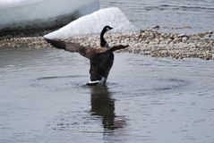 Canada Goose with outstretched wings Stock Photo