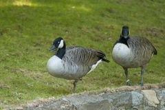 Canada Goose Pair Royalty Free Stock Photos