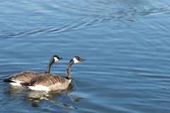 Canada Goose Pair Stock Photos