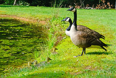 Canada Goose pair with babies. Stock Photos