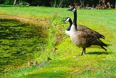 Canada Goose pair with babies. Stock Photos