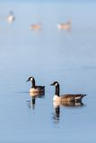 Canada Goose pair Royalty Free Stock Photo