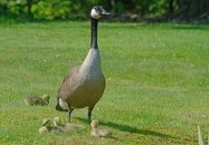 Canada Goose parent with four babies. Stock Photography