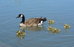 Canada goose parent swimming with goslings. Canada goose parent swimming with brood of newborn goslings less than a week old Stock Images