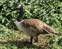 Is the Canada Goose a pest royalty free stock photos