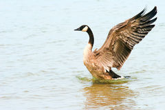 Canada Goose. Royalty Free Stock Photo