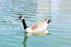 Canada goose on a pond Royalty Free Stock Images