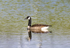 Canada Goose on Pond Stock Photography