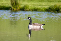 Canada Goose on Pond Royalty Free Stock Photography