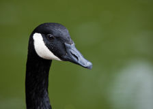 Canada Goose Portrait. Royalty Free Stock Photography