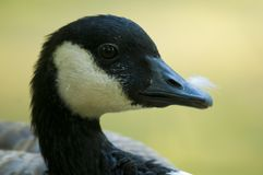 Canada Goose Portrait Royalty Free Stock Photography