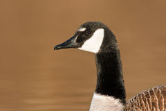 Canada Goose Portrait Stock Images