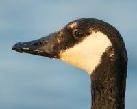 Canada Goose Portrait Stock Image