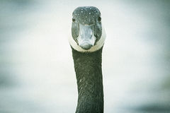 Free Canada Goose Portrait Royalty Free Stock Photo - 50607275