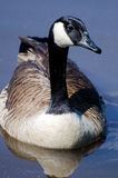 Canada Goose portrait on blue pond Royalty Free Stock Images