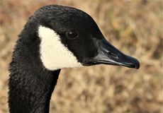 Canada Goose Portrait. Close-up profile of the head and face of a Canada goose with a blurred brown background royalty free stock images