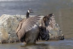 Canada Goose in Poughkeepsie, NY. A Canada Goose in a pond in Poughkeepsie, NY The Hudson Valley. This image was taken by Debbie Quick from Debs Creative Images stock photo
