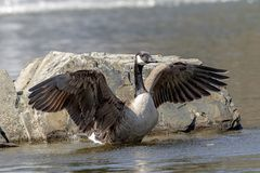 Canada Goose in Poughkeepsie, NY. A Canada Goose in a pond in Poughkeepsie, NY The Hudson Valley. This image was taken by Debbie Quick from Debs Creative Images royalty free stock photography