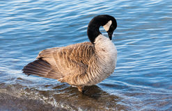 Canada goose preening in shallow water. Stock Images