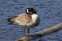 Canada Goose Preening Royalty Free Stock Photography