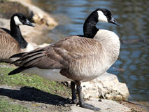 Canada Goose Profile on Bank of Pond Royalty Free Stock Image