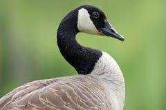 Canada Goose in Profile Royalty Free Stock Photos