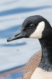 Canada Goose Royalty Free Stock Photos