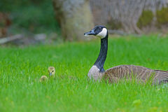 A Canada Goose protect her babies. Royalty Free Stock Images