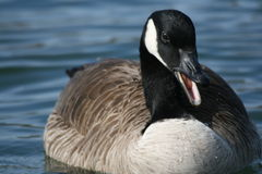 Canada goose quack royalty free stock photo