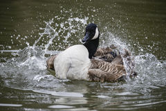 Canada Goose ranta Canadensis spreading its wings and cleaning i. Canada Goose spreading its wings and cleaning itself on water in Spring Royalty Free Stock Photo