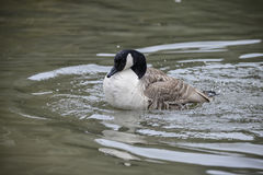 Canada Goose ranta Canadensis spreading its wings and cleaning i Royalty Free Stock Photos