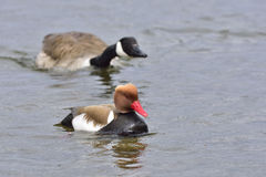 Canada Goose and Red-crested Pochard Royalty Free Stock Photography