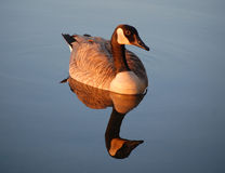 Canada goose reflected in river - sunset Stock Image