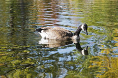 Canada goose in reflecting waters Royalty Free Stock Photo