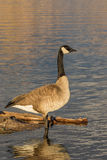Canada Goose Reflection on Lake Stock Images