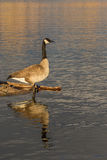 Canada Goose Reflection Royalty Free Stock Image