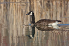 Canada Goose and Reflection on a Small Pond Royalty Free Stock Photography