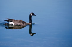 Canada Goose reflections Stock Photo