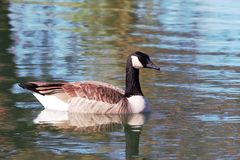 Canada Goose on reflective pond. Solitary Canada goose floating on a reflective pond Royalty Free Stock Images