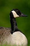Canada Goose resting. A  wild Canada Goose sitting in grass Stock Photos