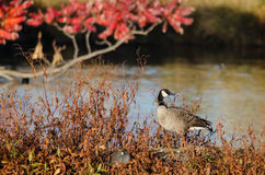 Canada Goose Resting Beside the Autumn Lake Stock Photography