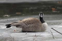Canada Goose Resting on Frozen River Stock Photography