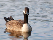 Canada goose in river Royalty Free Stock Photography