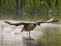 Canada Goose Run - Take off Stock Image