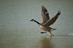 Canada Goose Running Across the Surface of a Pond. A canada goose (branta canadensis) runs across the surface of a pond as it takes off Stock Photos