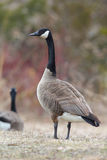 Canada Goose Scanning its Surroundings Royalty Free Stock Photos