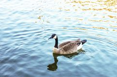 Canada goose serenely Swimming in blue water with wake and  reflection. Canada goose serenely Swimming in blue water with wake and its reflection Stock Photography