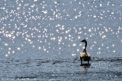 Canada Goose Silhouetted By Sparkling Water Stock Photography