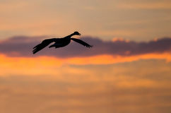 Canada Goose Silhouetted in the Sunset Sky As It Flies Royalty Free Stock Photo