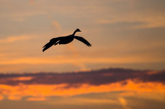 Canada Goose Silhouetted in the Sunset Sky As It Flies. Canada Goose Silhouetted in the Colorful Sunset Sky As It Flies Royalty Free Stock Images